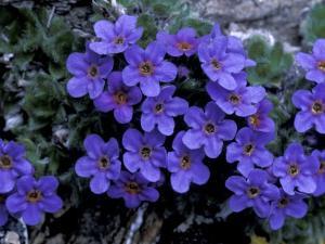 Forget-Me-Not Among Lichens, Brooks Range, Alaska National Wildlife Refuge, Alaska, USA by Hugh Rose