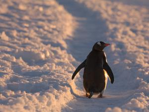 Gentoo Penguin Rests on Trail Towards Colony on Petermann Island, Antarctic Peninsula by Hugh Rose