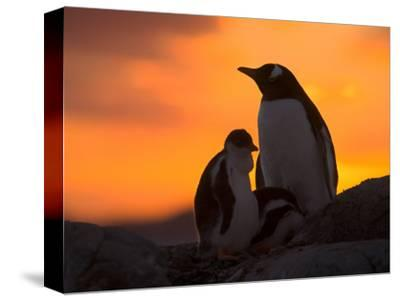Gentoo Penguins Silhouetted at Sunset on Petermann Island, Antarctic Peninsula