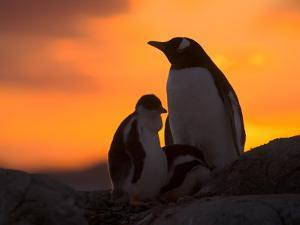 Gentoo Penguins Silhouetted at Sunset on Petermann Island, Antarctic Peninsula by Hugh Rose
