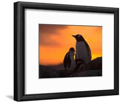 Gentoo Penguins Silhouetted at Sunset on Petermann Island, Antarctic Peninsula