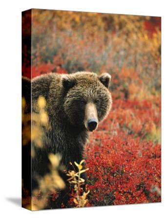 Grizzly Bear Standing Amongst Alpine Blueberries, Denali National Park, Alaska, USA