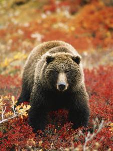 Grizzly Bear Standing Amongst Alpine Blueberries, Denali National Park, Alaska, USA by Hugh Rose