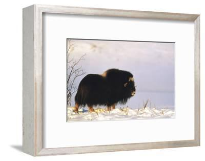 Musk Ox Bull Wildlife, Arctic National Wildlife Refuge, Alaska, USA