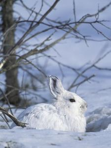 Snowshoe Hare, Arctic National Wildlife Refuge, Alaska, USA by Hugh Rose