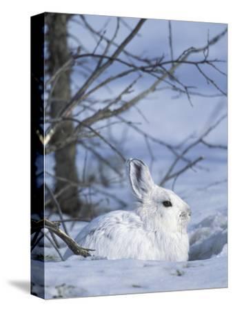 Snowshoe Hare, Arctic National Wildlife Refuge, Alaska, USA