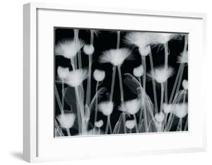 Chrysanthemum Furore by Hugh Turvey