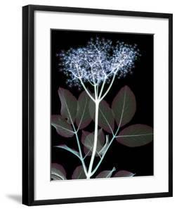 Elderflower Lumination by Hugh Turvey