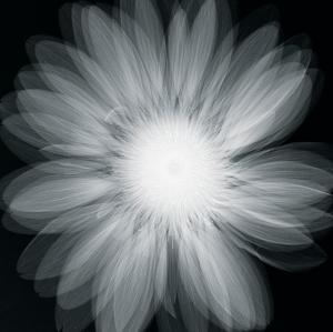 Gerbera Glow by Hugh Turvey