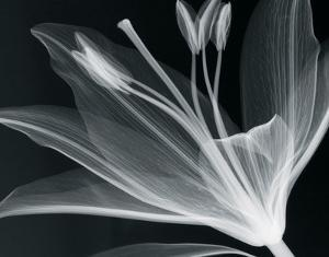 Lilium Glow by Hugh Turvey