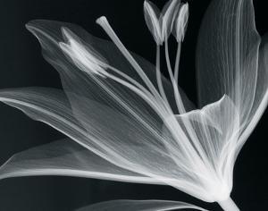 Lilium Glow by Hugh Turvey