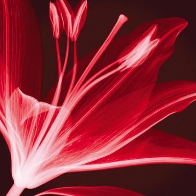 Lilium Radiance