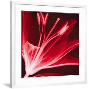 Lilium Radiance by Hugh Turvey
