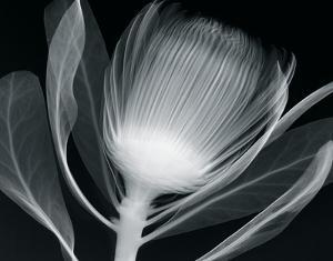 Protea Glow by Hugh Turvey