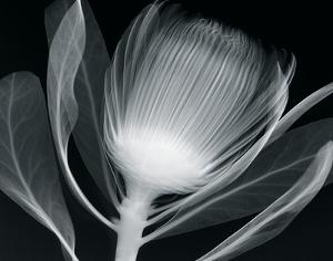 Protea Glow by Hugh Turvey