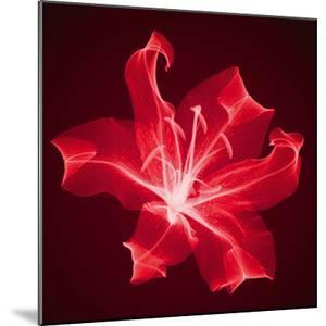 Radiant Lily by Hugh Turvey