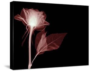 White Rose Glow by Hugh Turvey