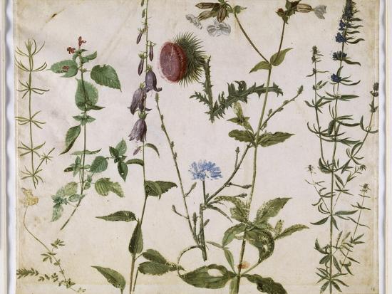 Huit études de fleurs des champs-Albrecht D?rer-Premium Giclee Print