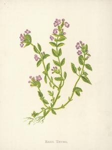 Basil Thyme by Hulton Archive
