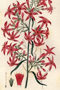 Elegant Ipomopsis by Hulton Archive