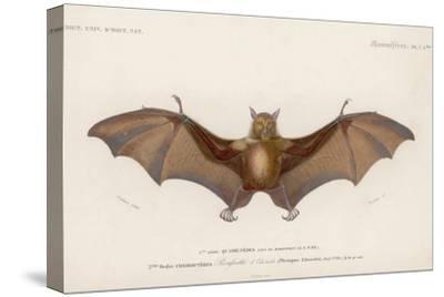 Pteropus Edwardsii
