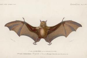 Pteropus Edwardsii by Hulton Archive