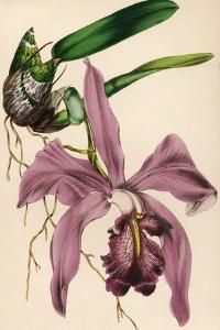 Purple Orchid by Hulton Archive