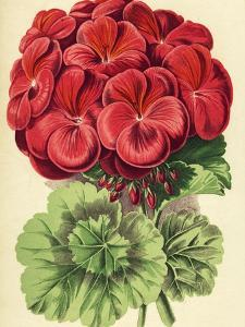 Red Geranium by Hulton Archive