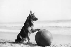 Rin Tin Tin by Hulton Archive