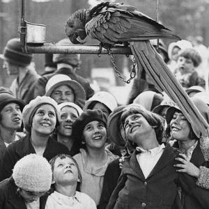 Show off Parrott by Hulton Archive