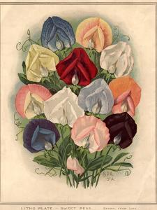 Sweet Peas by Hulton Archive