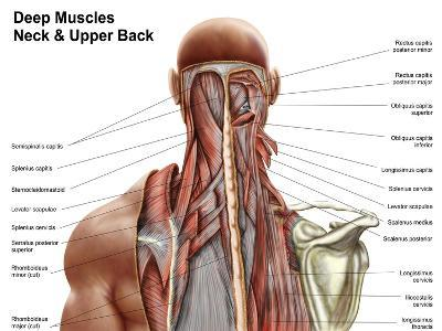 Human Anatomy Showing Deep Muscles in the Neck and Upper Back--Art Print