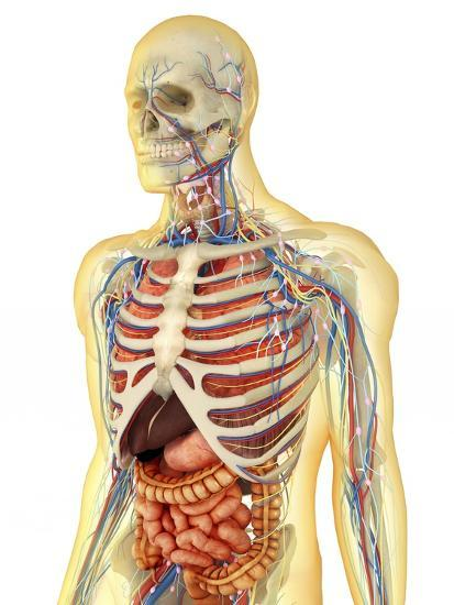 Human Body with Internal Organs, Nervous System, Lymphatic System and Circulatory System-Stocktrek Images-Art Print