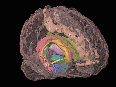 Human Brain Showing the Limbic System-Arthur Toga-Photographic Print