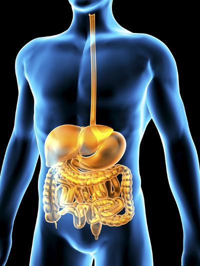 Human Digestive System, Artwork-PASIEKA-Photographic Print