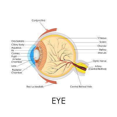 Human Eye Anatomy-stockshoppe-Art Print