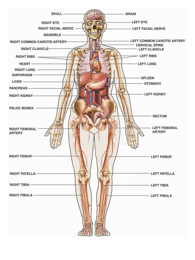 Human Female Anatomy, with Major Organs and Structures Labeled ...