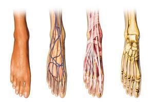 Human Foot Anatomy Showing Skin, Veins, Arteries, Muscles and Bones