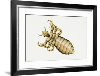Human Head Louse (Pediculus Humanus Capitis), Pediculidae. Artwork by Bridgette James--Framed Giclee Print