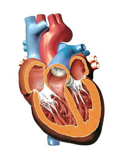Human Heart Anatomy, Artwork-Jose Antonio-Photographic Print