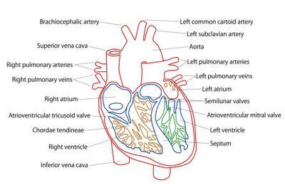 https://imgc.artprintimages.com/img/print/human-heart-structure_u-l-pqi92z0.jpg?p=0