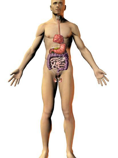 Human Male Figure Showing the Endocrine System-Carol & Mike Werner-Photographic Print