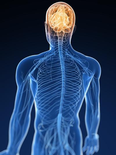 Human Nervous System, Artwork-SCIEPRO-Premium Photographic Print