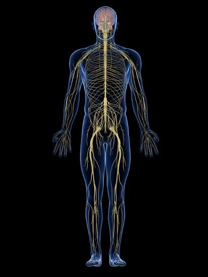 Human Nervous System, Artwork Photographic Print by SCIEPRO | Art.com
