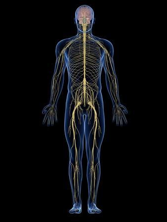 https://imgc.artprintimages.com/img/print/human-nervous-system-artwork_u-l-pzklg80.jpg?p=0