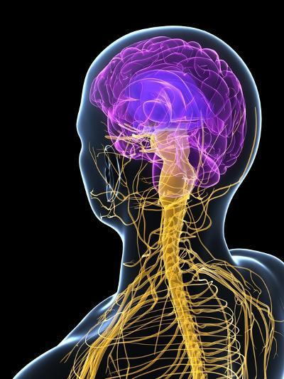 Human Nervous System, Artwork-SCIEPRO-Photographic Print