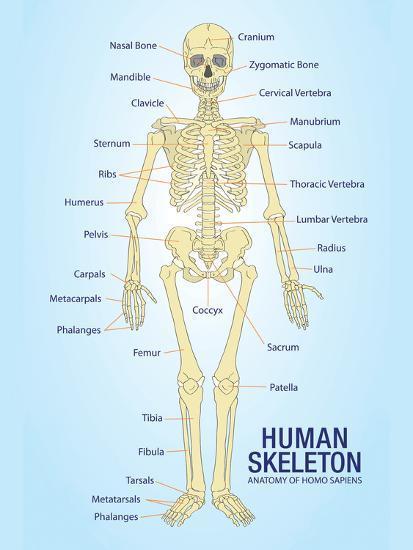Human Skeleton Anatomy Anatomical Chart Poster Print--Poster