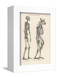 Human Skeleton Compared with That of a Gorilla