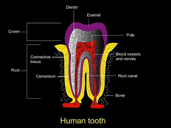 Human Tooth Anatomy, Diagram-Francis Leroy-Photographic Print