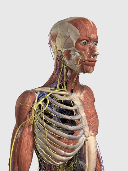 Human Upper Body Showing Muscle Parts, Axial Skeleton, Veins and Nerves-Stocktrek Images-Art Print